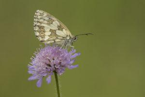 Dambordje Vlinderen in de Eifel