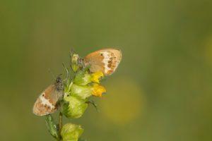 Tweekleurig hooibeestje, galerij vlinders