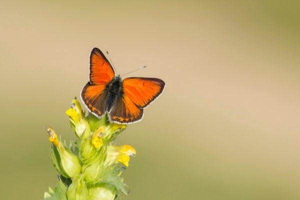Rode vuurvlinder, Vlinderen in de Eifel