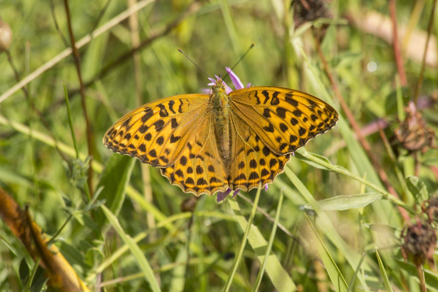 Keizersmantel Vlinderen in de Eifel