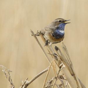 Blauwborst vroege vogelwandeling in de Beningerslikken