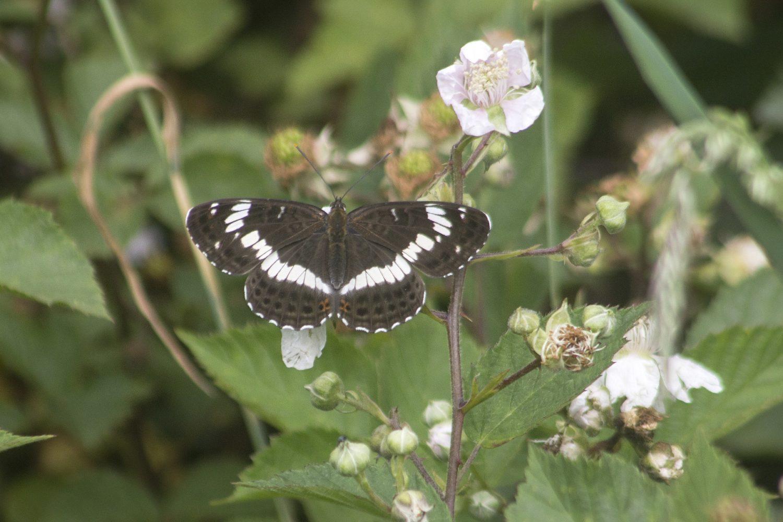 Kleine IJsvogelvlinder, Dwalen door de Kampina