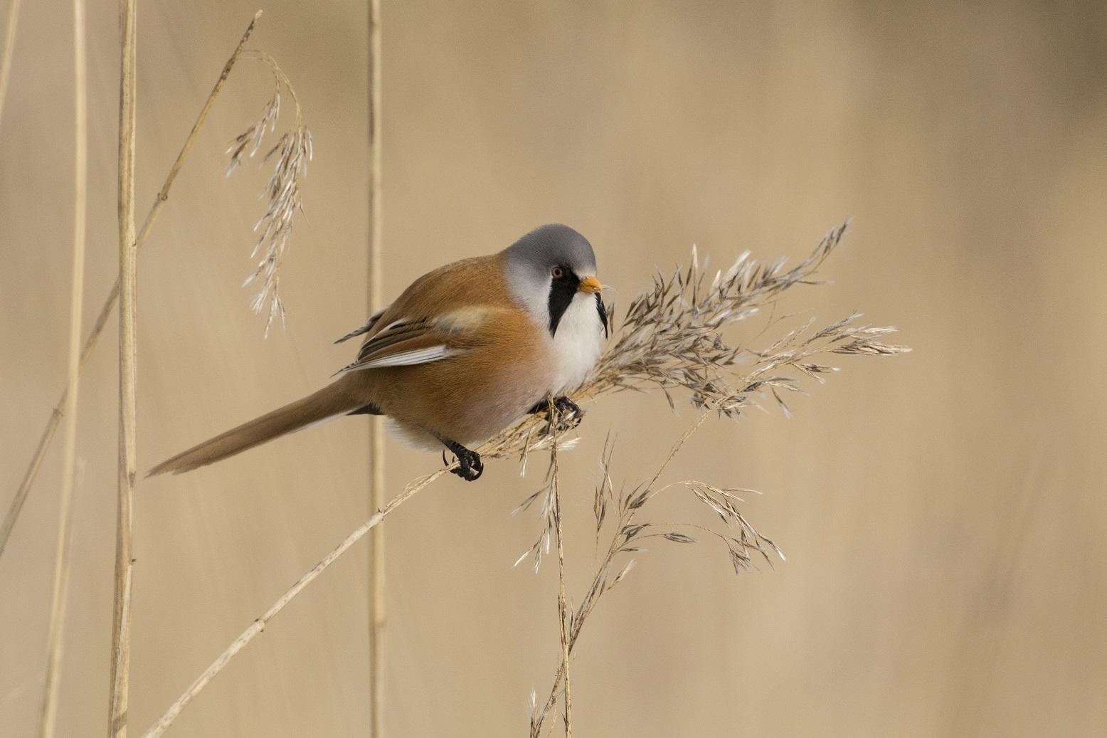 Baardman vroege vogelwandeling in de Beningerslikken