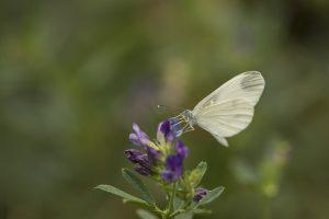 Boswitje Vlinderen in de Eifel