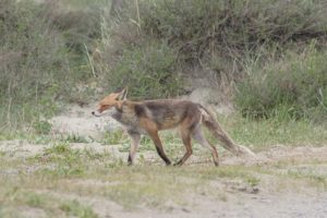 Vos, Natuurwandeling in het Voornes Duin