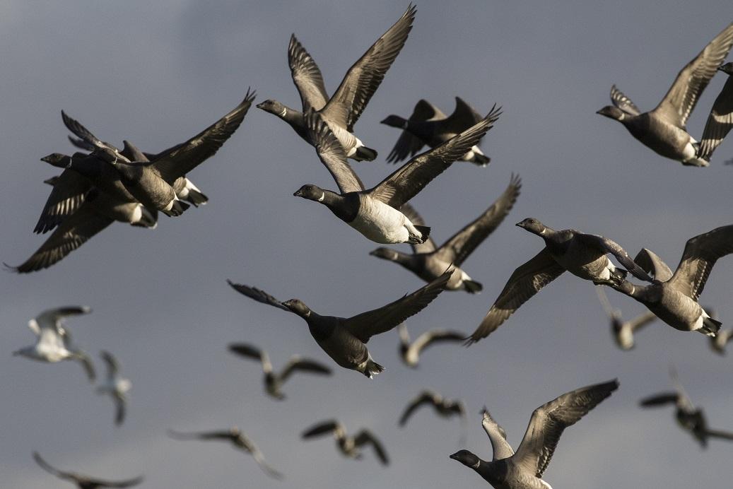 Witbuikrotgans vogelexcursie in de Delta