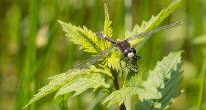 Gevlekte Witsnuitlibel, Wandeling in het Voornes Duin