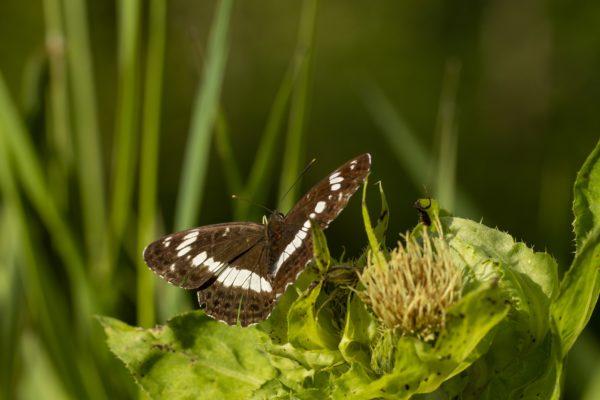Kleine ijsvogelvlinder natuurbeleving in Brabant
