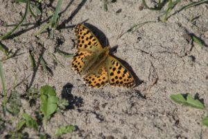 Kleine parelmoervlinder wandeling in het Voornes Duin