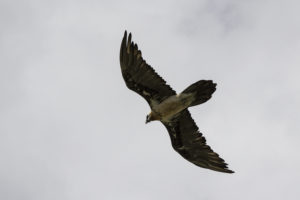 Lammergier winter editie Alpenvogels fotograferen