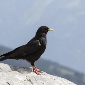 Alpenkauw winter editie Alpenvogels fotograferen
