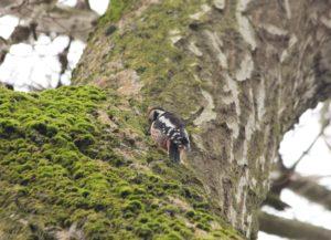Middelste Bonte Specht Vogelen in Zuid-Duitsland