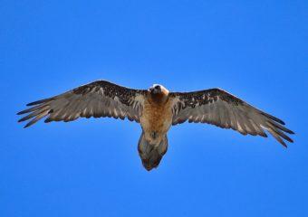 Lammergier fotografiereis Alpenvogels