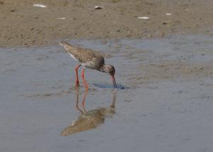 Tureluur vroege vogelwandeling in de Beningerslikken