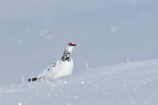 Alpensneeuwhoen fotografiereis Alpenvogels