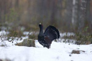 Auerhoen Vogelen in Zuid Duitsland