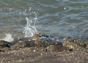 Bontbekplevier vogelexcursie in de Delta