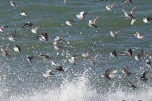 Drieteenstrandlopers vogelexcursie in de Delta