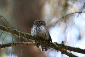 Dwerg uil vogelen in Zuid-Duitsland