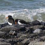 Scholeksters vogelexcursie in de Delta