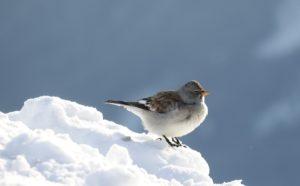 Sneeuwvink Winter editie Alpenvogels fotograferen