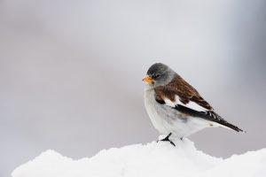 sneeuwvink