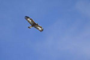Steenarend Winter editie Alpenvogels fotograferen