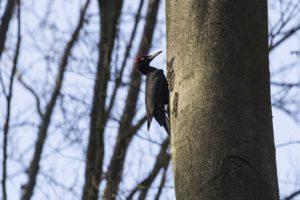 Zwarte specht Vogelen in Zuid Duitsland