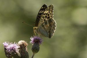 Keizersmantel, Vlinderen in de Aostavallei