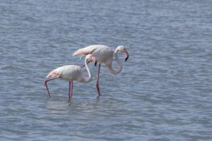 Flamingo Eleonora's valk en najaarsmigratie op Mallorca