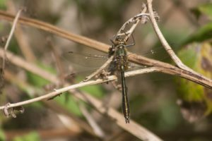 Smaragdlibel, Varen en ontdekken in de Weerribben -Wieden