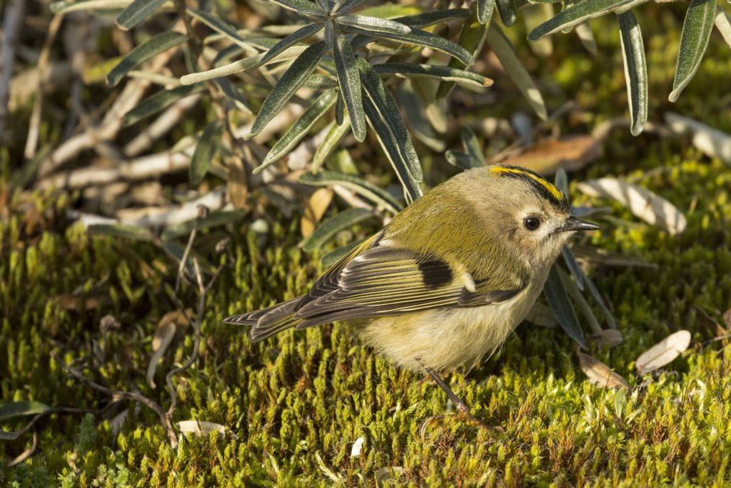 Goudhaan, Goldcrest Nature Tours
