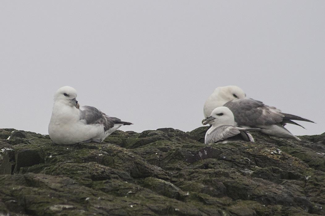 Noordse Stormvogel zeevogel