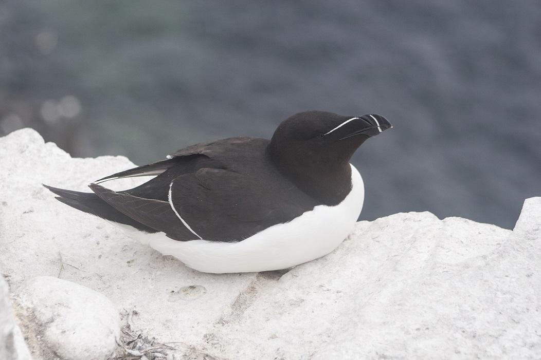 Alk zeevogel