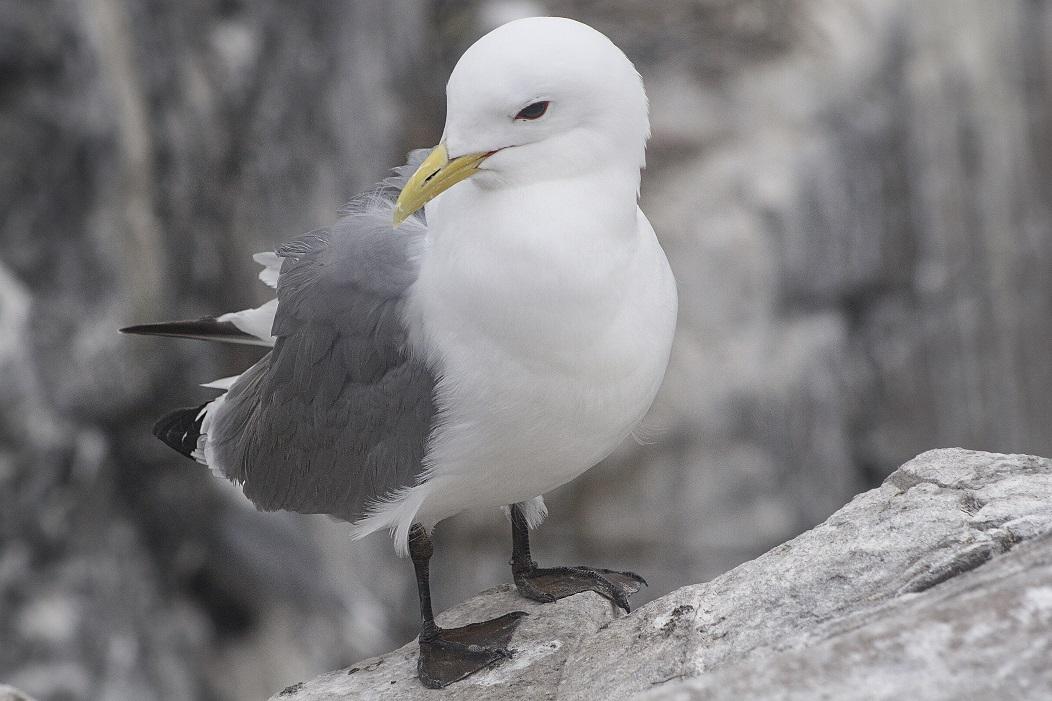 Drieteenmeeuw zeevogel