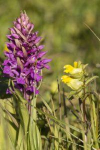 Rietorchis, natuurexcursie op Goerree-voorjaar