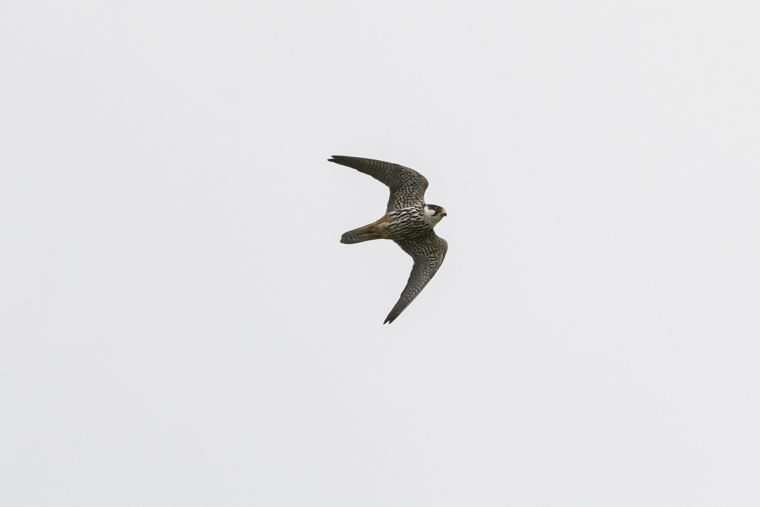 Boomvalk, Galerij vogels