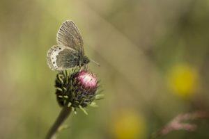 Alpenhooibeestje, Vlinderen in de Aostavallei
