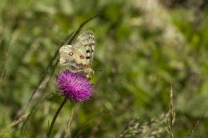 Apollovlinder, Vlinderen in de Aostavallei
