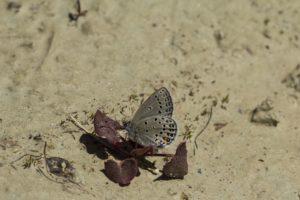 Veenbesblauwtje natuurwandeling Drenthe