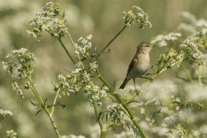 Fitis, natuurexcursie op Goerree - voorjaar