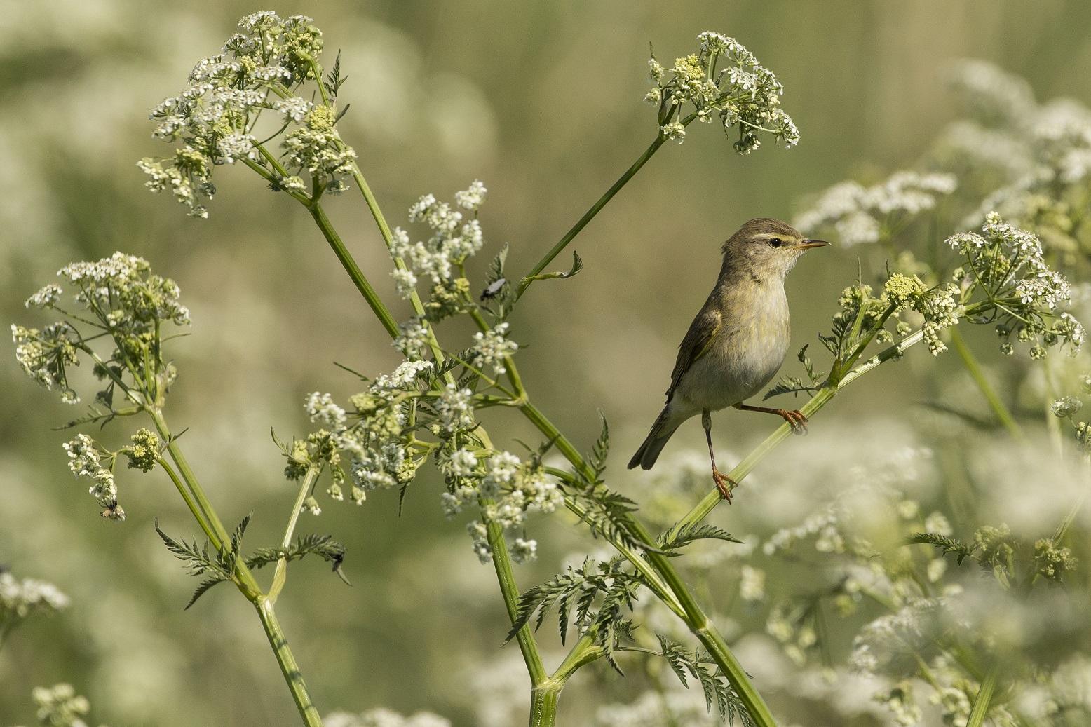 Fitis, Kwade Hoek voorjaarswandeling