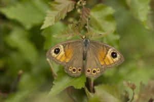 Rotsvlinder, Vlinderen in de Aostavallei