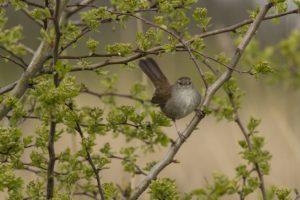 Cetti's zanger vroege vogelwandeling in de Beningerslikken