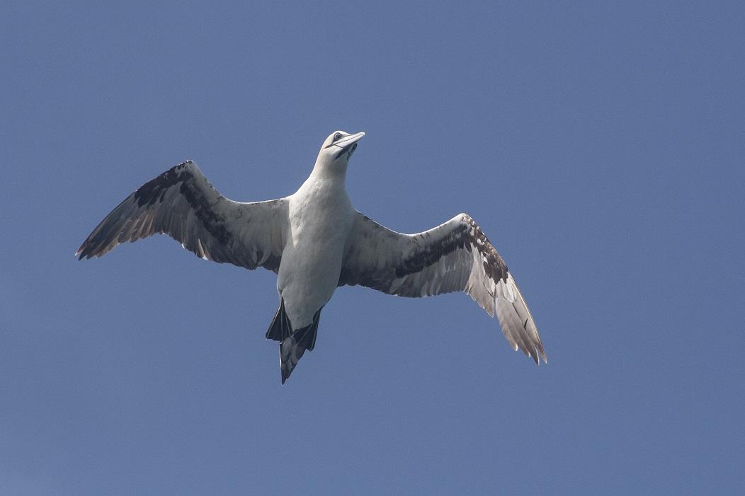Jan van Gent zee-vogelen in het zuiden van Ierland