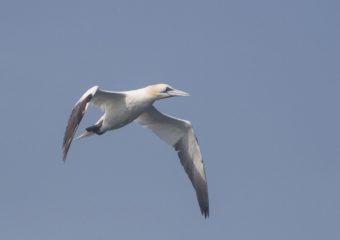 Jan van Gent Zeevogel