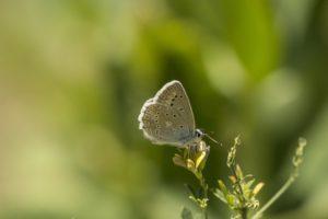getand blauwtje, Vlinderen in de Aostavallei