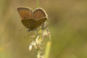Aosta esparcetteblauwtje met open vleugels