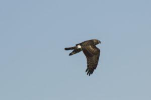 Blauwe kiekendief Natuurexcursie op Goeree-winter
