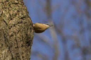 Boomklever vogelrijk Zuid-Limburg